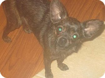 Chihuahua/Pomeranian Mix Puppy for adoption in Centreville, Virginia - Lily and Buffy