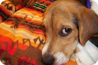 Beagle Puppy for adoption in Fenton, Missouri - Juno
