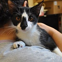 Domestic Shorthair Kitten for adoption in Pompano Beach, Florida - connor