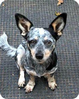 Australian Cattle Dog/Dachshund Mix Dog for adoption in McKinney, Texas - Hannah