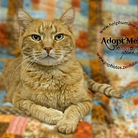 American Shorthair Cat for adoption in Belton, Missouri - Charlie Tabby