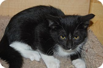 Domestic Mediumhair Kitten for adoption in Whittier, California - Cici