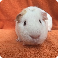 Guinea Pig for adoption in Imperial Beach, California - Nanya