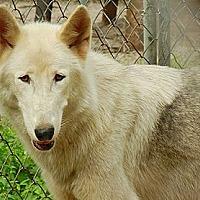 Adopt A Pet :: Wolfdog - Kito - Orlando, FL