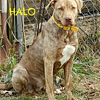 Adopt A Pet :: Halo - Lawrenceburg, TN