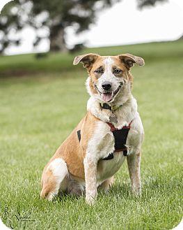 Australian Cattle Dog/Cattle Dog Mix Dog for adoption in Salt Lake City, Utah - Ginger