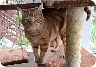 Domestic Shorthair Kitten for adoption in Wichita, Kansas - Toby