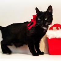Adopt A Pet :: Bliss - West Des Moines, IA