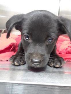 Labrador Retriever Mix Dog for adoption in Vincennes, Indiana - Michonne