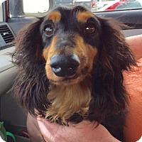 Adopt A Pet :: Jazz - Pearland, TX