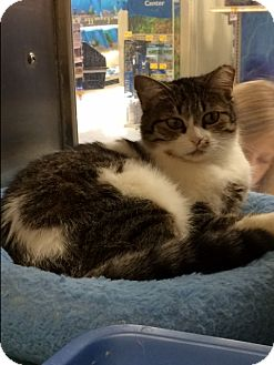 Domestic Shorthair Cat for adoption in Byron Center, Michigan - Mitzi