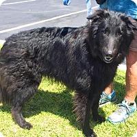 Adopt A Pet :: Ollie - Anaheim, CA