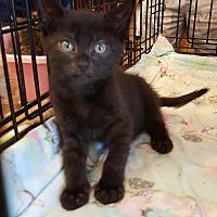 Adopt A Pet :: Laila - Wayne, NJ