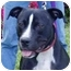 Photo 3 - American Pit Bull Terrier Mix Dog for adoption in Berkeley, California - Sparky