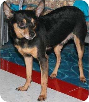 Chihuahua Dog for adoption in House Springs, Missouri - Wes
