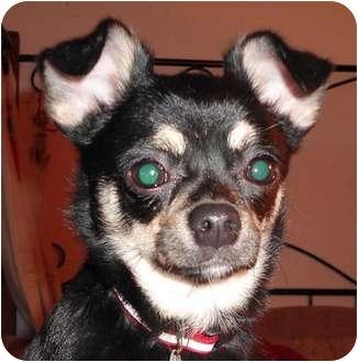 Chihuahua Puppy for adoption in Rigaud, Quebec - Quita