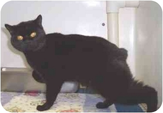 Manx Cat for adoption in Overland Park, Kansas - Licorice