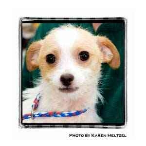 Jack Russell Terrier/Chihuahua Mix Puppy for adoption in Warren, Pennsylvania - JR
