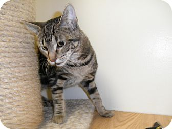 Domestic Shorthair Cat for adoption in Milwaukee, Wisconsin - Jassi