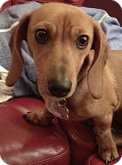 Dachshund Puppy for adoption in San Jose, California - Cricket