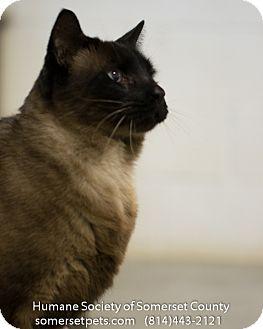 Siamese Cat for adoption in Somerset, Pennsylvania - Willie