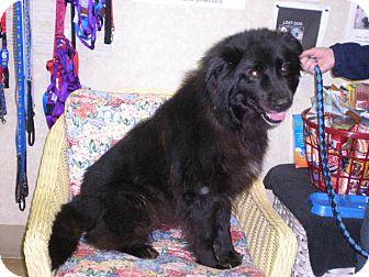 """Collie/Labrador Retriever Mix Dog for adoption in New Castle, Pennsylvania - """" Chewie """""""