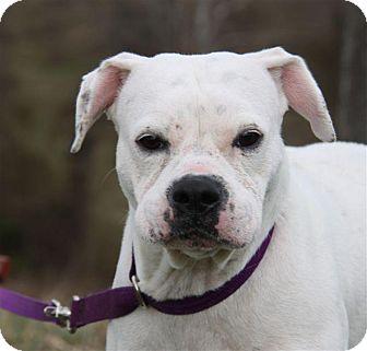 Boxer Dog for adoption in mishawaka, Indiana - Tasha