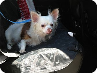 Chihuahua Mix Dog for adoption in Long Beach, New York - Betty