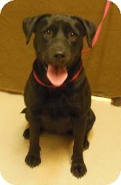 Labrador Retriever Mix Dog for adoption in Gary, Indiana - Journey