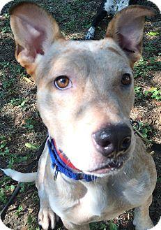 Blue Heeler/Terrier (Unknown Type, Medium) Mix Dog for adoption in Wimberley, Texas - Scotty