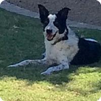 Adopt A Pet :: Gillian - Gilbert, AZ
