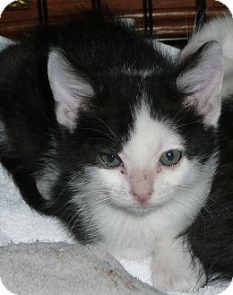 Siamese Kitten for adoption in Thousand Oaks, California - Gwen