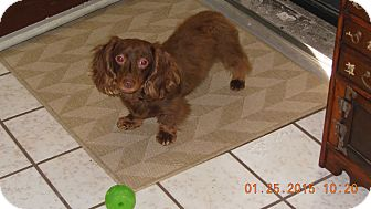 Dachshund Dog for adoption in Pinellas Park, Florida - Cocoa