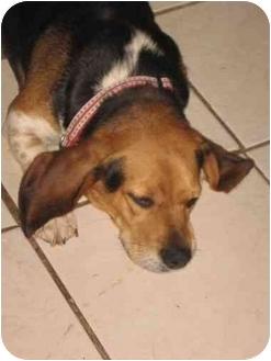 Beagle Puppy for adoption in Buffalo, New York - Hunni: Purebred