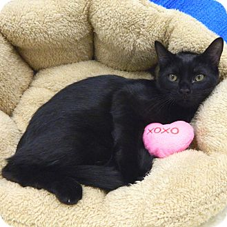 Domestic Shorthair Cat for adoption in McCormick, South Carolina - Courtesy: Celine