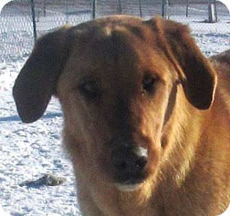 Golden Retriever/Shepherd (Unknown Type) Mix Dog for adoption in Lloydminster, Alberta - Nico