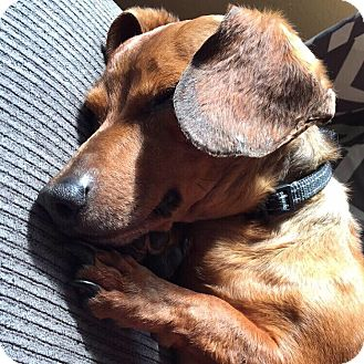 Dachshund Dog for adoption in Coatesville, Pennsylvania - Griffin