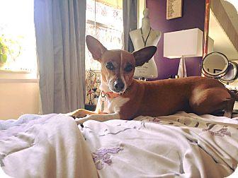 Miniature Pinscher Mix Dog for adoption in Goldens Bridge, New York - Juliet*Great w/ kids,cats,dogs