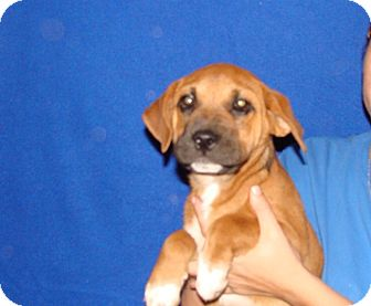 Rhodesian Ridgeback/Boxer Mix Puppy for adoption in Oviedo, Florida - Duke