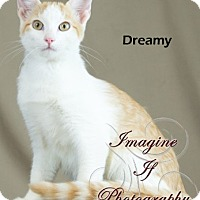 Adopt A Pet :: Dreamy - Oklahoma City, OK