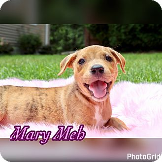 Labrador Retriever/Plott Hound Mix Puppy for adoption in Bridgewater, New Jersey - Akiko Glitter