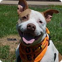 Adopt A Pet :: Thor - Independence, MO