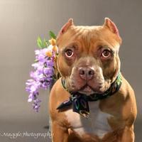 American Pit Bull Terrier Mix Dog for adoption in Davison, Michigan - Kenny