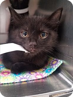 Domestic Shorthair Kitten for adoption in Indianapolis, Indiana - Runner