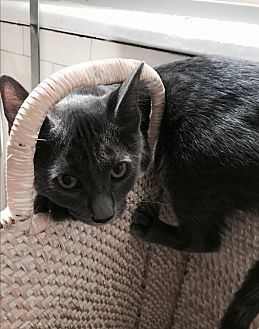 Russian Blue Kitten for adoption in Los Angeles, California - Brigitte Bardot