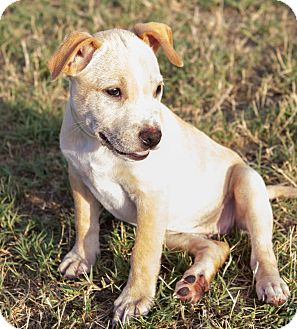 Labrador Retriever/American Pit Bull Terrier Mix Puppy for adoption in oklahoma city, Oklahoma - Lola