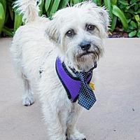 Cairn Terrier Mix Dog for adoption in Fremont, California - Theo D4178