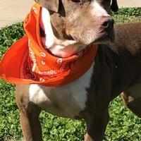 Adopt A Pet :: Bounce - Savannah, TN