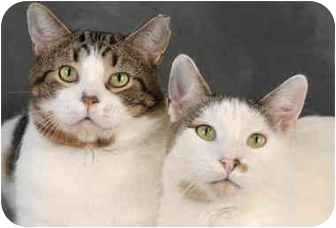 Domestic Shorthair Cat for adoption in Chicago, Illinois - Greyhound & Rudolf