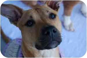 American Pit Bull Terrier/Labrador Retriever Mix Dog for adoption in Greensboro, Georgia - Lola - ATHENS